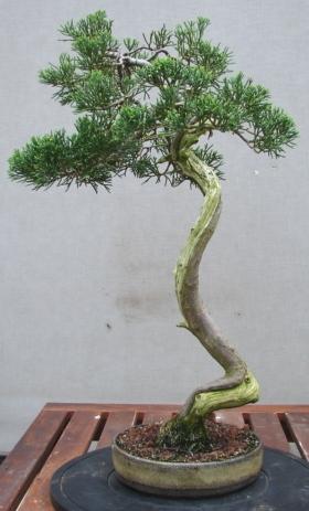 Chinese juniper, Juniperus chinensis