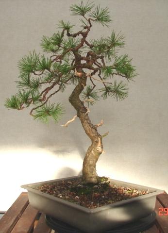 Scots Pine Pinus Sylvestris Willowbog Bonsai
